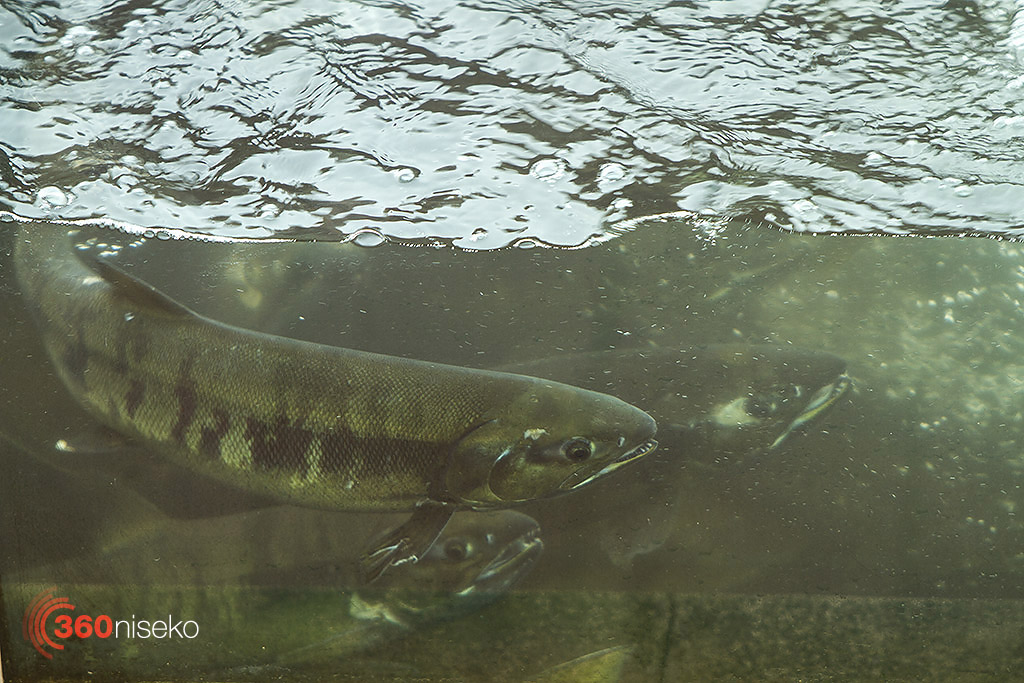 The high concentration of fish in the viewing tank.