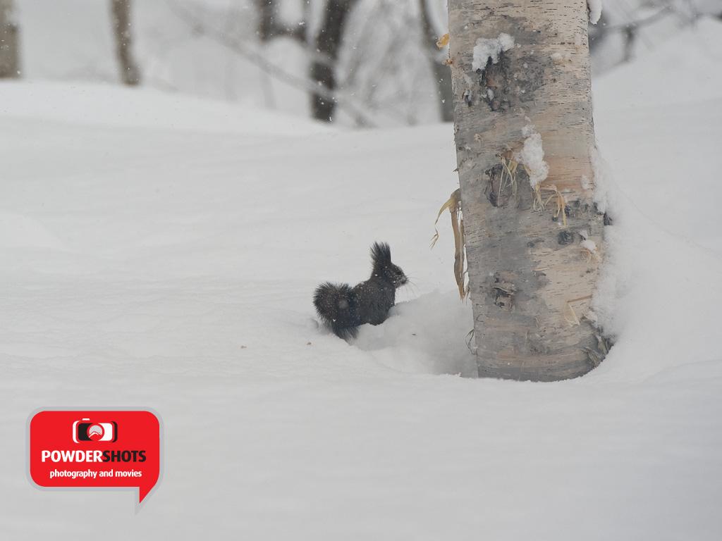Hokkaido Squirrel Faceshot! 18 January 2013