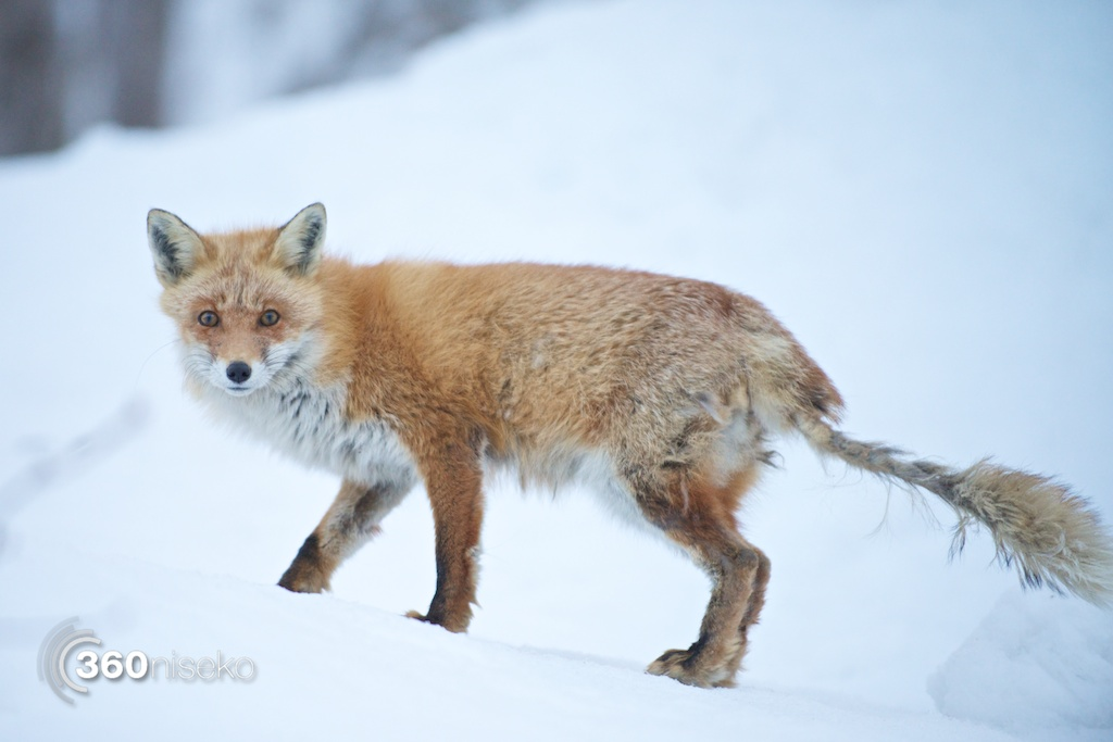Yakushi-onsen-niseko-guardian-fox
