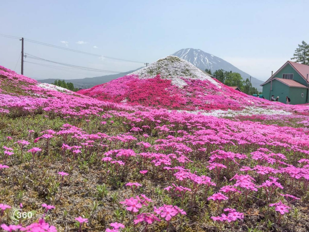A mini Mt.Yotei with flowers on it, 28 May 2016